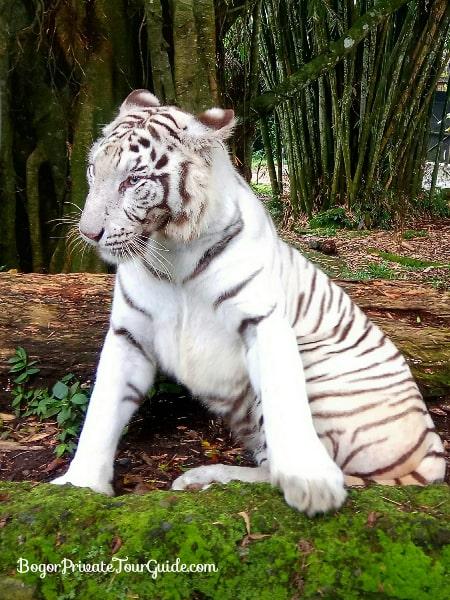 Taman Safari Safari Park Day Tour From Jakarta Or Bogor Bogor
